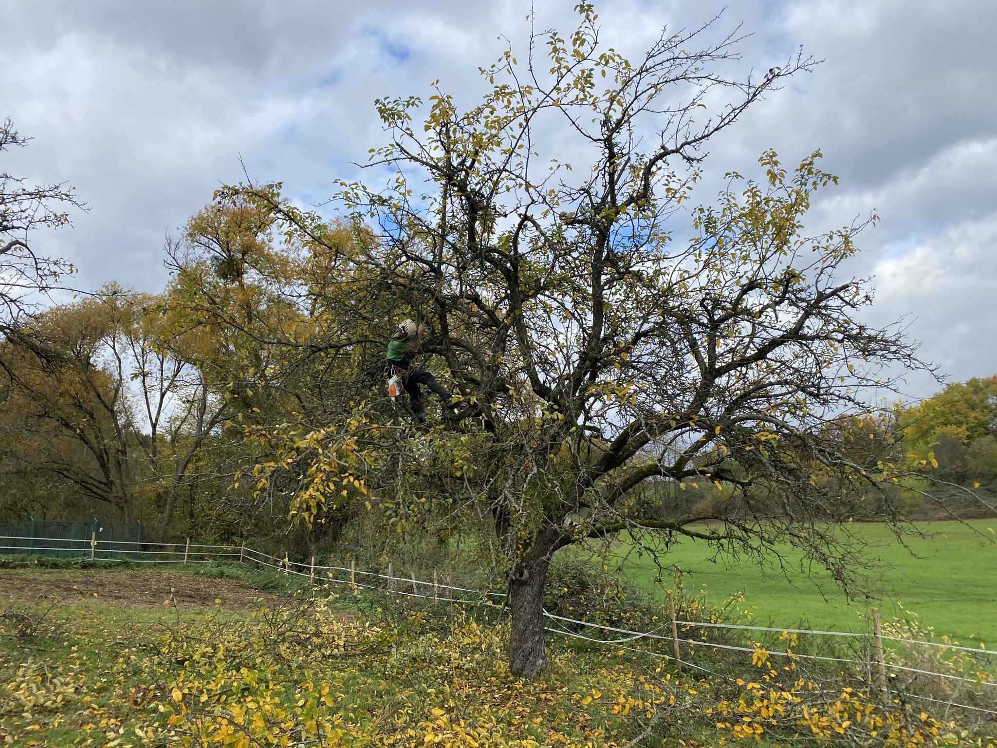 Baum mit Mistelbefall